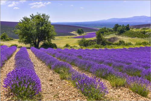Premiumposter Lavender fields of Provence
