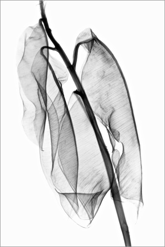 Poster Plant leaves, X-ray