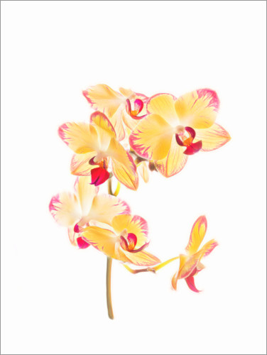 Premiumposter Yellow orchid