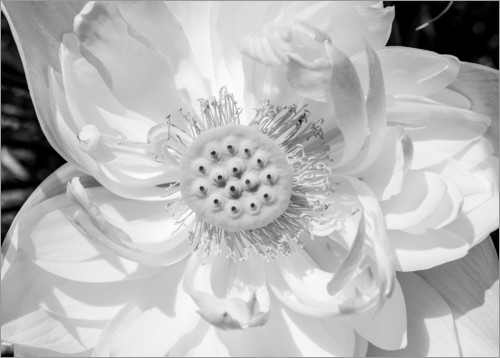 Premiumposter Lotus flower in black and white