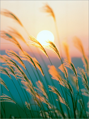 Premiumposter Reed in the sunset