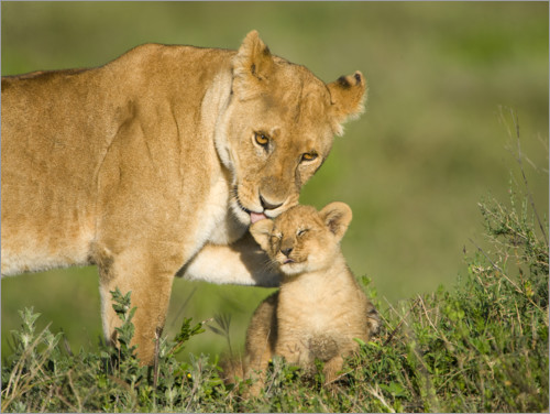 Premiumposter Lion mother with cub