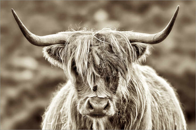 Premiumposter Face to face with the highland cattle