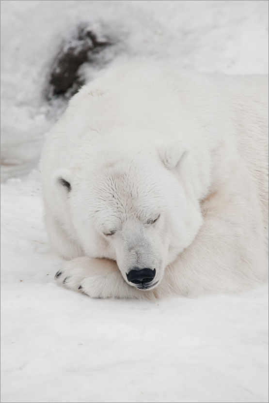 Premiumposter Relaxed polar bear settled down to sleep