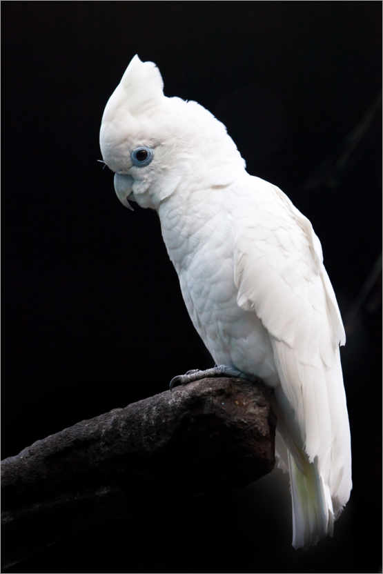 Premiumposter Beautiful white cockatoo