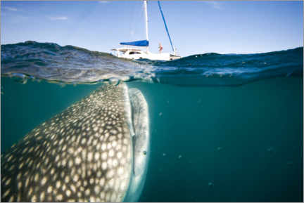 Premiumposter  Whale shark with a yacht - Christopher Swann