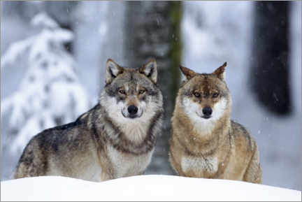 Premiumposter  Wolves in the snow - age fotostock
