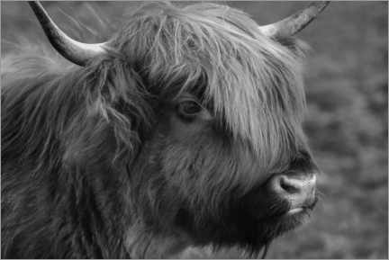 Premiumposter  Highlander - Scottish highland cattle - Martina Cross