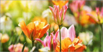 Canvastavla  Pink and orange tulips - Lichtspielart