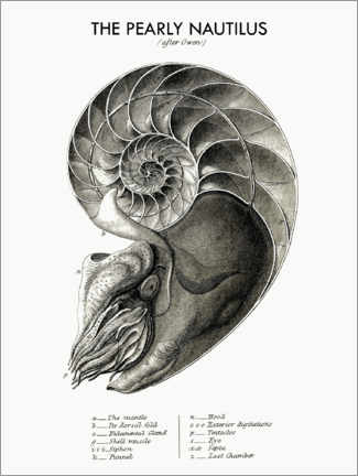 Premiumposter  The pearly nautilus - Wunderkammer Collection