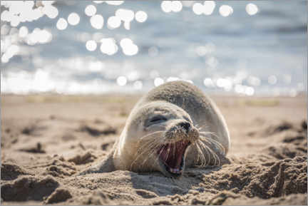 Premiumposter  Young seal on the beach on Sylt - Christian Müringer