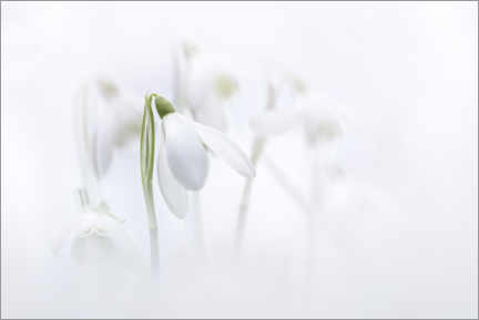 Premiumposter Natural Snowdrops