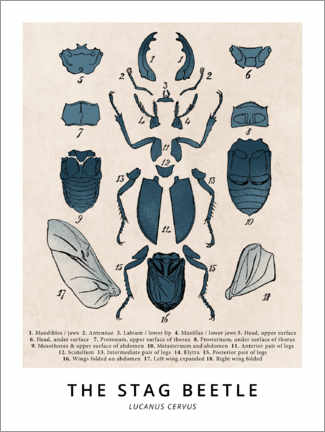 Premiumposter  The Stag Beetle, Diagram (Vintage) - Wunderkammer Collection