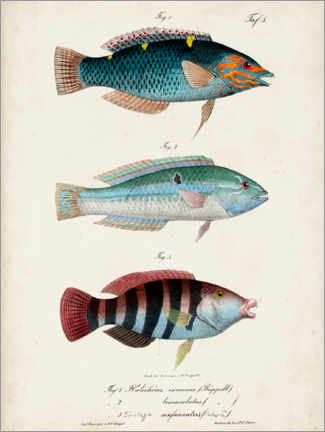 Akrylglastavla  Antique fish trio - Vision Studio