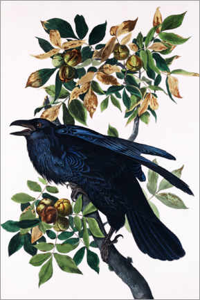 Premiumposter  Raven - John James Audubon