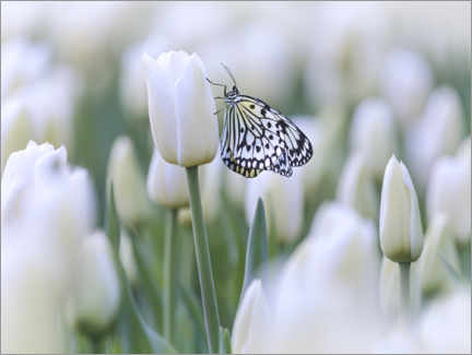 Premiumposter  White tulips with butterfly - Martin Bergsma
