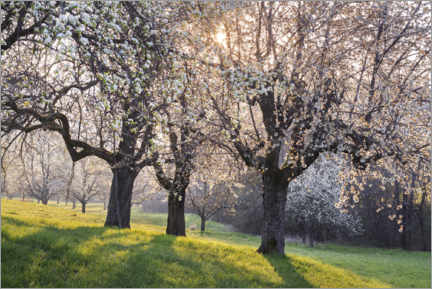 Akrylglastavla  Blossoming cherry trees in the light of the rising sun - The Wandering Soul