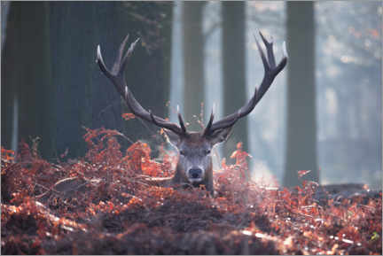 Premiumposter A majestic red deer stag