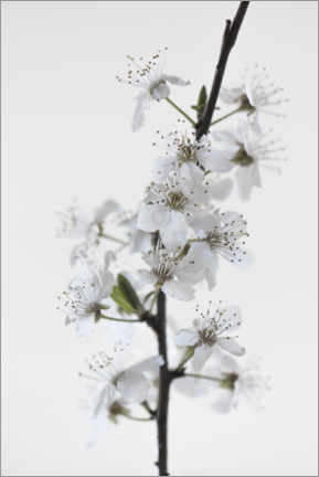 Galleritryck  White flowers - Studio Nahili