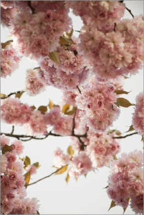 Premiumposter  Pink flowers in spring - Studio Nahili