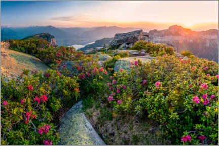 Canvastavla  Sunset in the Bernese Alps with alpine roses - Marcel Gross