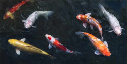 Canvastavla  Colorful koi carp in the pond - Jan Christopher Becke