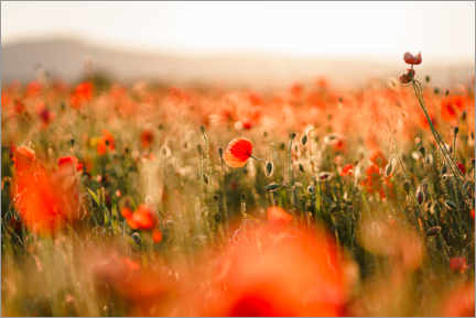 Premiumposter Field of poppies in the sunset