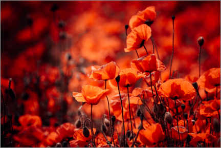 Premiumposter Poppies in a red sea