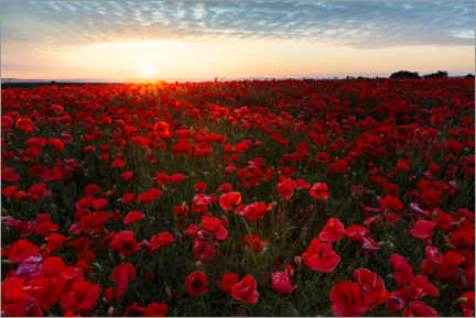 Premiumposter Field of poppies at sunrise