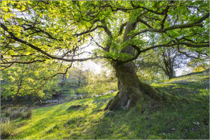 Canvastavla  Imposing tree in spring with sunlight in England - The Wandering Soul