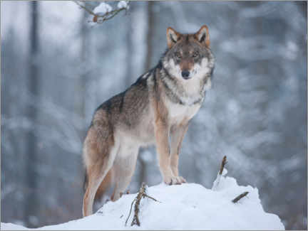 Premiumposter  Gray wolf in the snow - Frank Sommariva