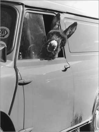 Premiumposter  Donkey looks out the car window - John Drysdale