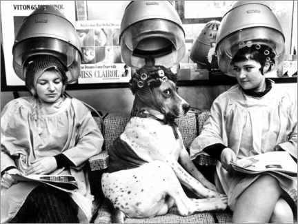 Premiumposter  Dog with curlers at the hairdresser's - John Drysdale