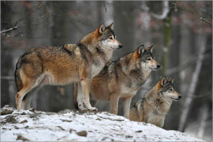 Premiumposter  Timber wolves in the snow - Michael Weber