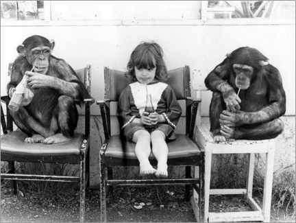 Canvastavla  Two chimpanzees and a girl drinking coke - John Drysdale