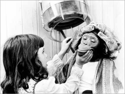 Canvastavla  Girl combs chimpanzee with curlers - John Drysdale