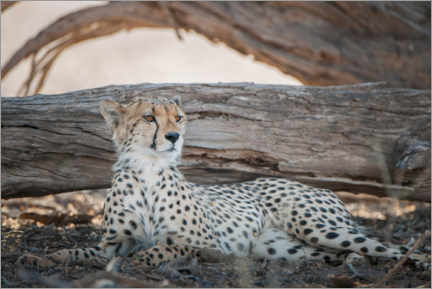 Canvastavla  Cheetah rests in the shade