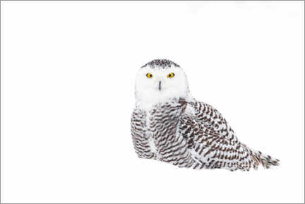 Premiumposter  Snowy Owl in the winter snow - Jim Cumming