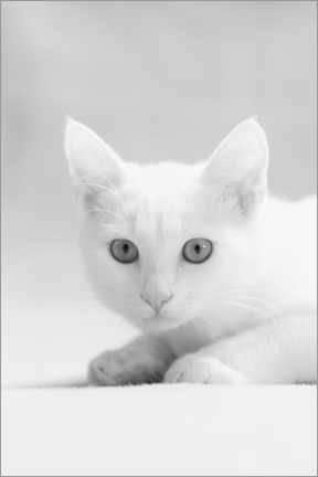 Premiumposter White kitten