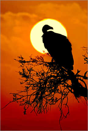 Premiumposter  Silhouette of a vulture sitting on a tree