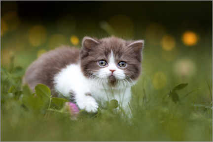 Akrylglastavla  British shorthair kitten on the grass - Janina Bürger