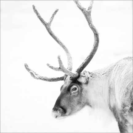 Aluminiumtavla  Reindeer in the Arctic - Matthew Williams-Ellis