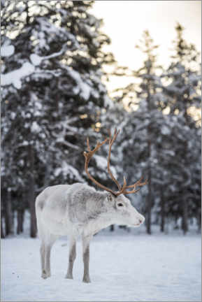 Aluminiumtavla  Reindeer at Sunset in the Winter Forest - Matthew Williams-Ellis