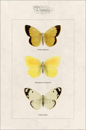 Canvastavla  Moorland clouded yellow, cleopatra and pale clouded yellow - Alexis Nicolas Noel