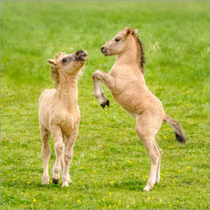Premiumposter Two foals are playing with each other