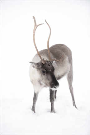 Canvastavla  Reindeer in Lapland in the Arctic - Matthew Williams-Ellis