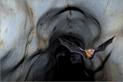 Premiumposter  Horseshoe bat leaving the cave - Fletcher & Baylis