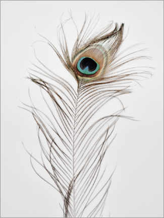 Akrylglastavla  Peacock feather - Magda Izzard
