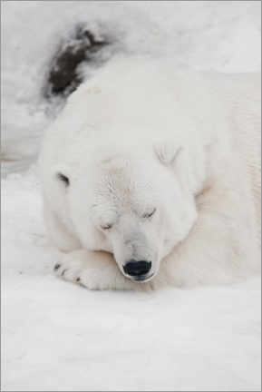 Aluminiumtavla  Relaxed polar bear settled down to sleep - Mikhail Semenov
