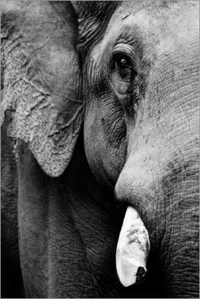 Premiumposter Portrait of an Indian elephant